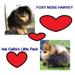 in-curand-pui-pomeranian-din-ch-foxy-nose-harvey-ch-b-isis-gafias-little-pack_1.jpg